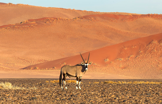 Oryx roaming the Desert